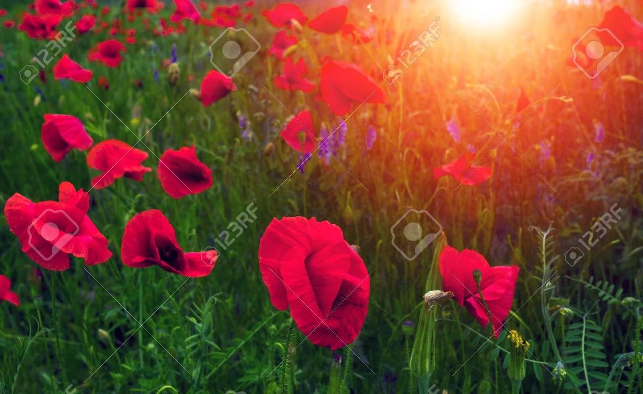 Wild poppy flower at sunset symbol of remembrance stock photo stock photo wild poppy flower at sunset symbol of remembrance mightylinksfo