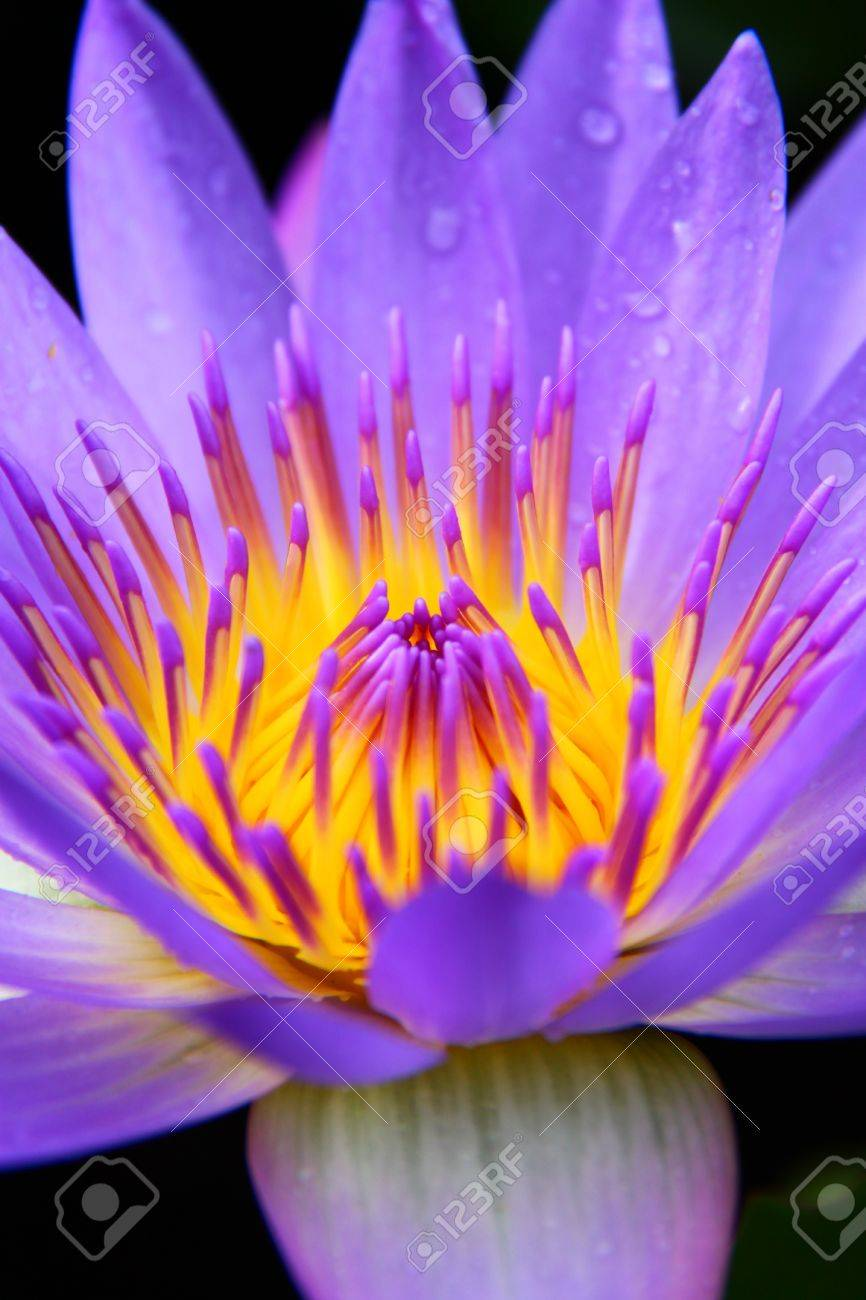 Close up of violet water lily Stock Photo - 10837948