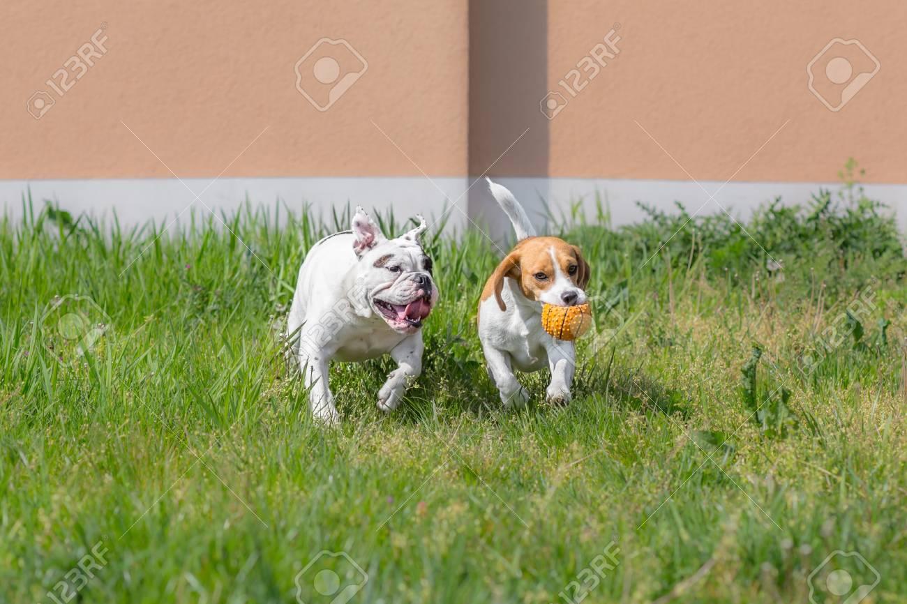 Beagle and bulldog playing with ball - 31732226