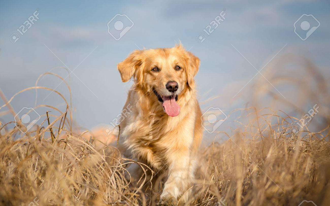 Golden retriever dog running outdoor - 33614791