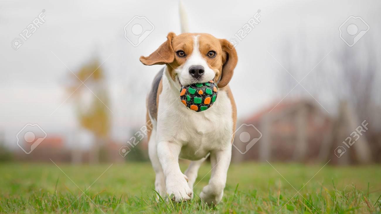 Beagle dog running with ball - 33987744