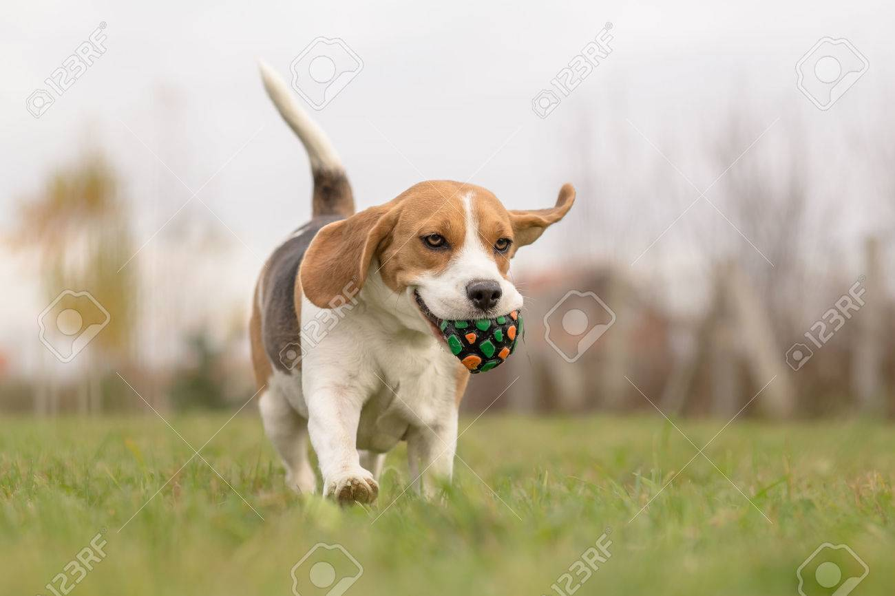 beagle dog running outdoor with ball in mouth - 34059819