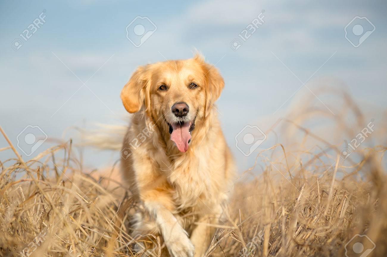 Golden retriever dog outdoor portrait - 34577198