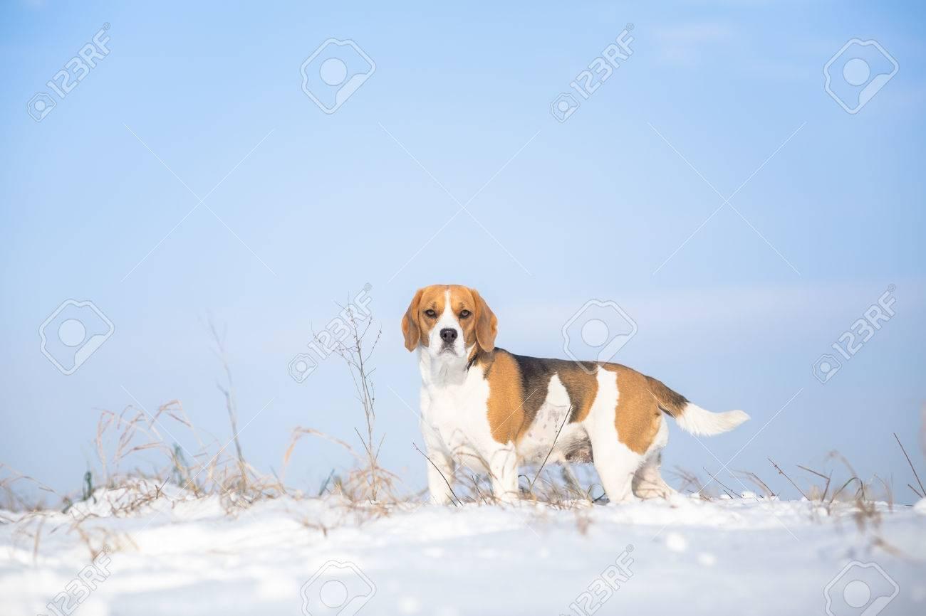 Dog winter background - Beagle - 35002254