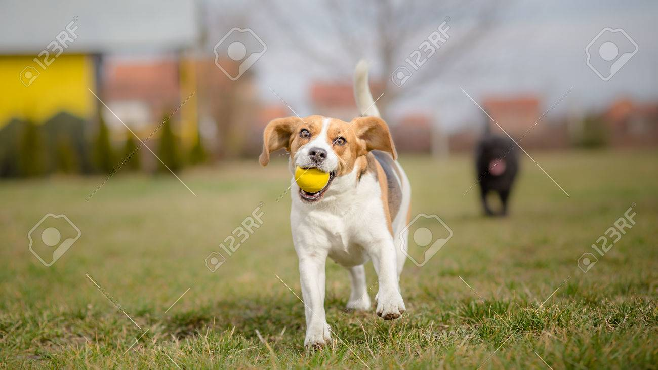 Dogs playing with ball - It's Springtime - 37399871