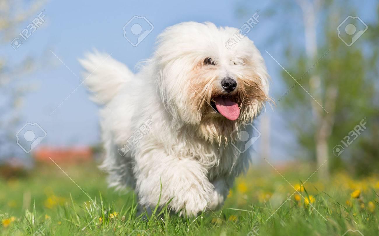 coton de tulear dog run in spring meadow stock photo 39233165