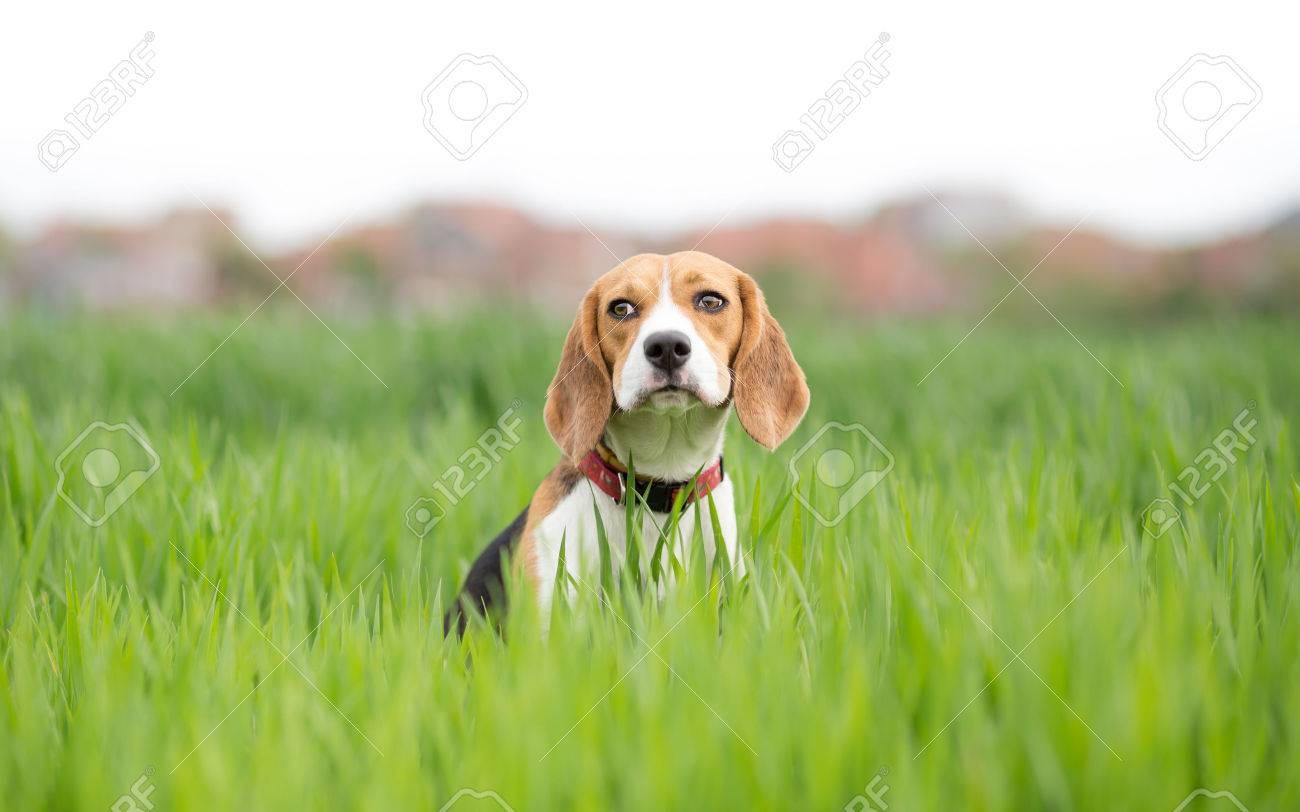Beagle dog portrait in young green wheat - 39387617