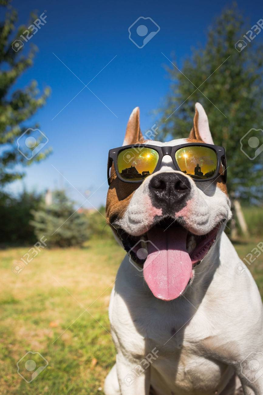 American staffordshire terrier dog wearing sunglasses - 43175091