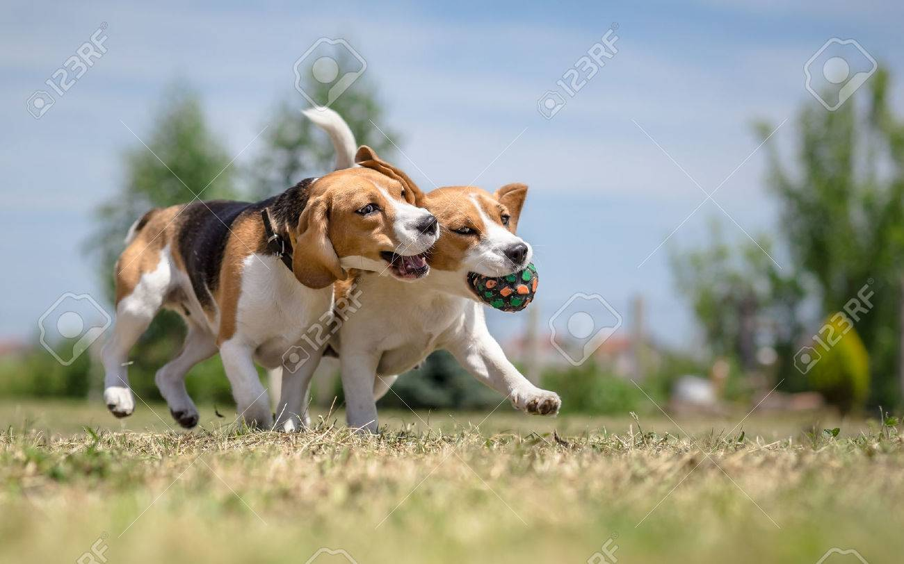 Two dogs playing with one toy - 43637470