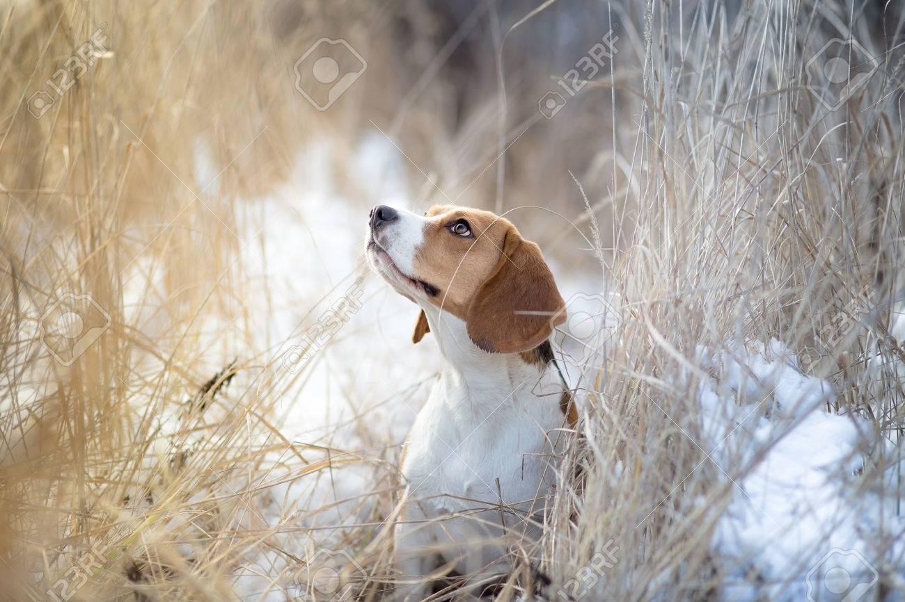 Beautiful Beagle dog winter portrait - 51465083
