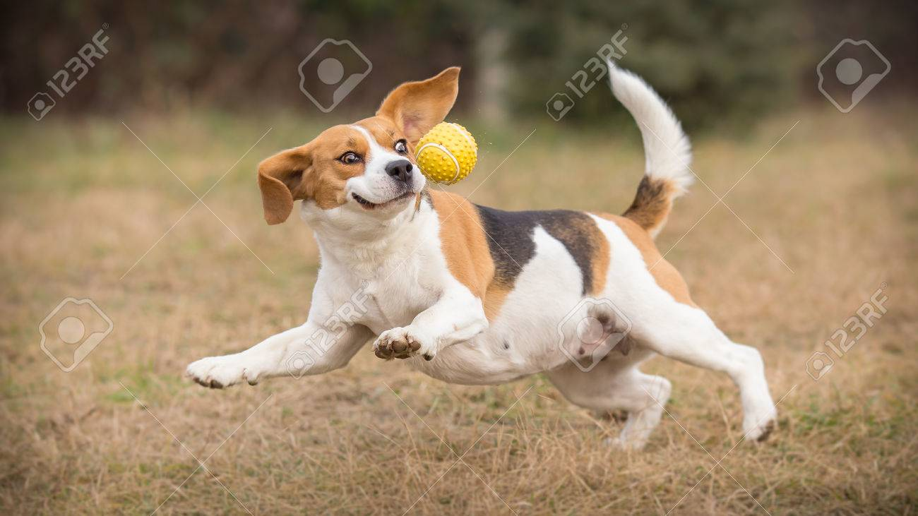 Playing fetch with funny beagle dog - 52173639