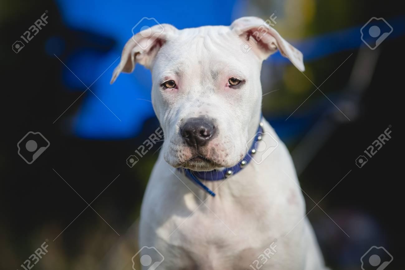 White American staffordshire terrier puppy Portrait