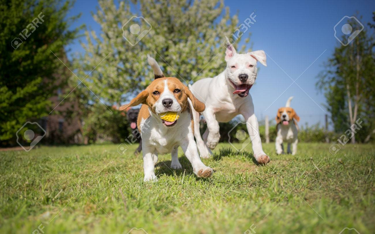 Group of dogs running over the lawn - 55268009