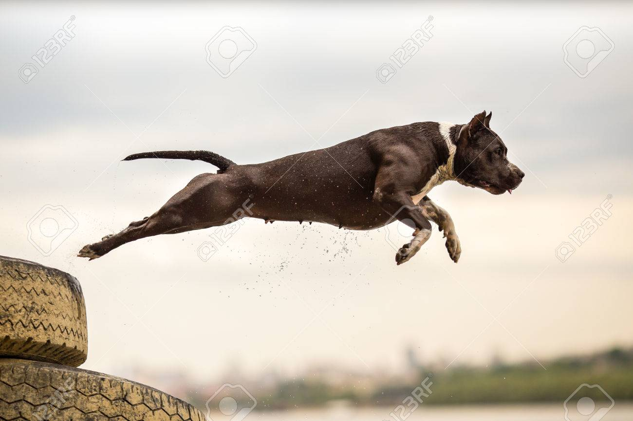 American Staffordshire Terrier in jump - 81557590