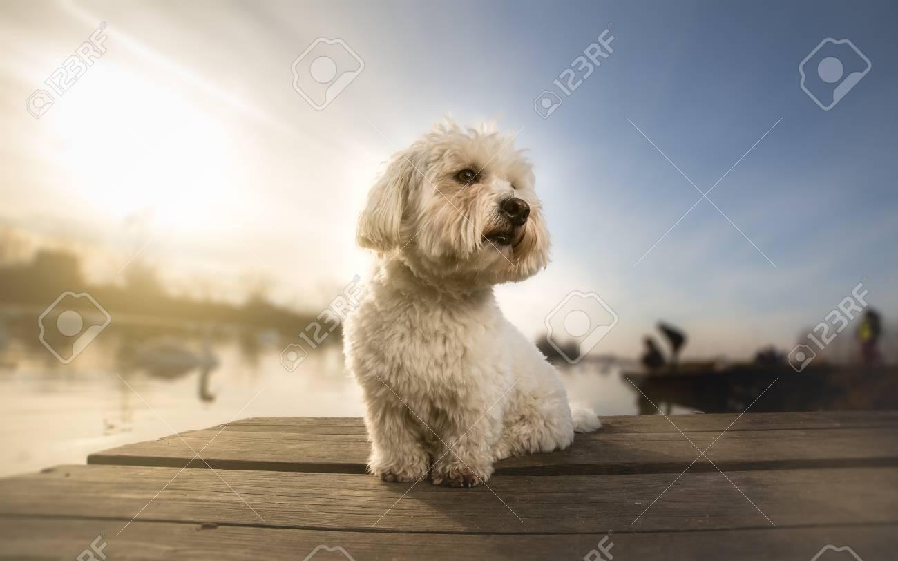 Coton de tulear portrait dog on dock - 93056711