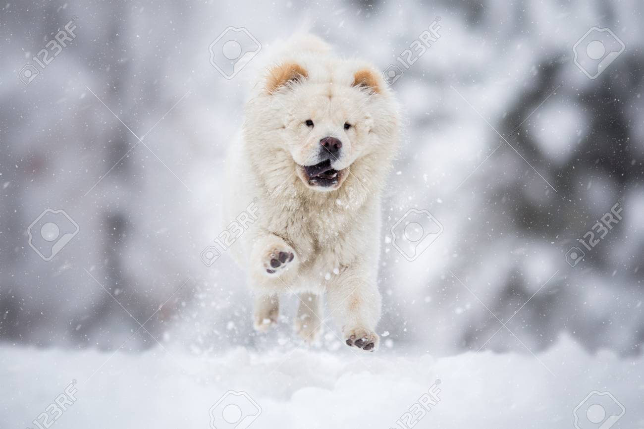 Chow Chow Running on winter snowy day - 125698837
