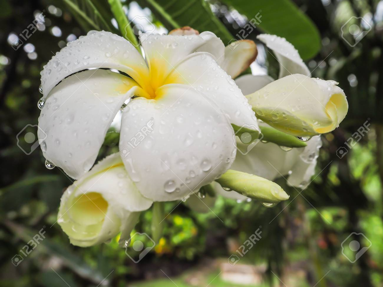 Bunch of white plumeria or frangipani flowers covered in water bunch of white plumeria or frangipani flowers covered in water droplets hanging on a tree mightylinksfo