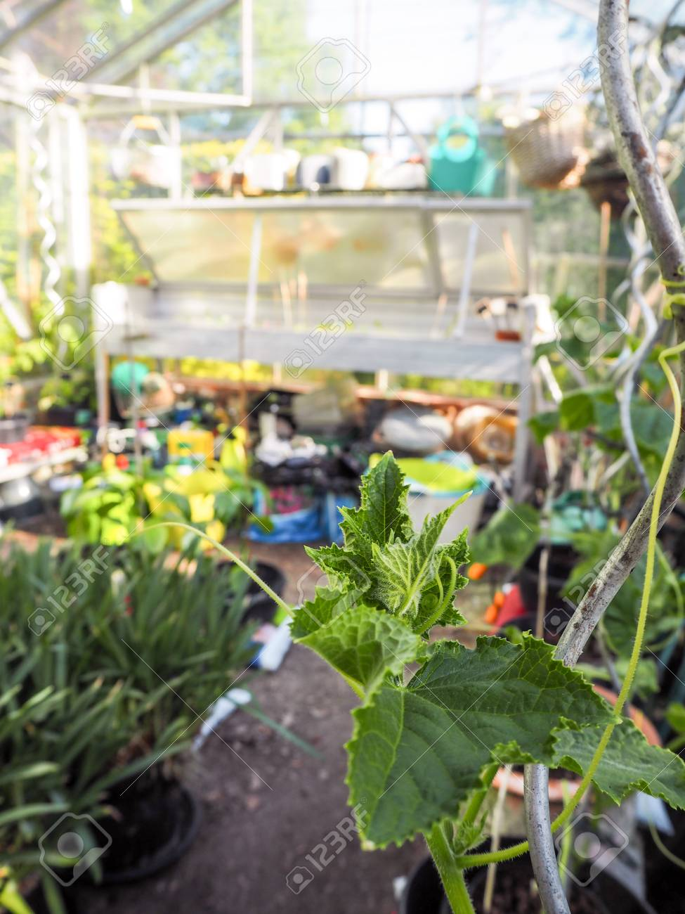 Superb Growing Cucumber Plants At Home In A Small Greenhouse Interior Design Ideas Philsoteloinfo