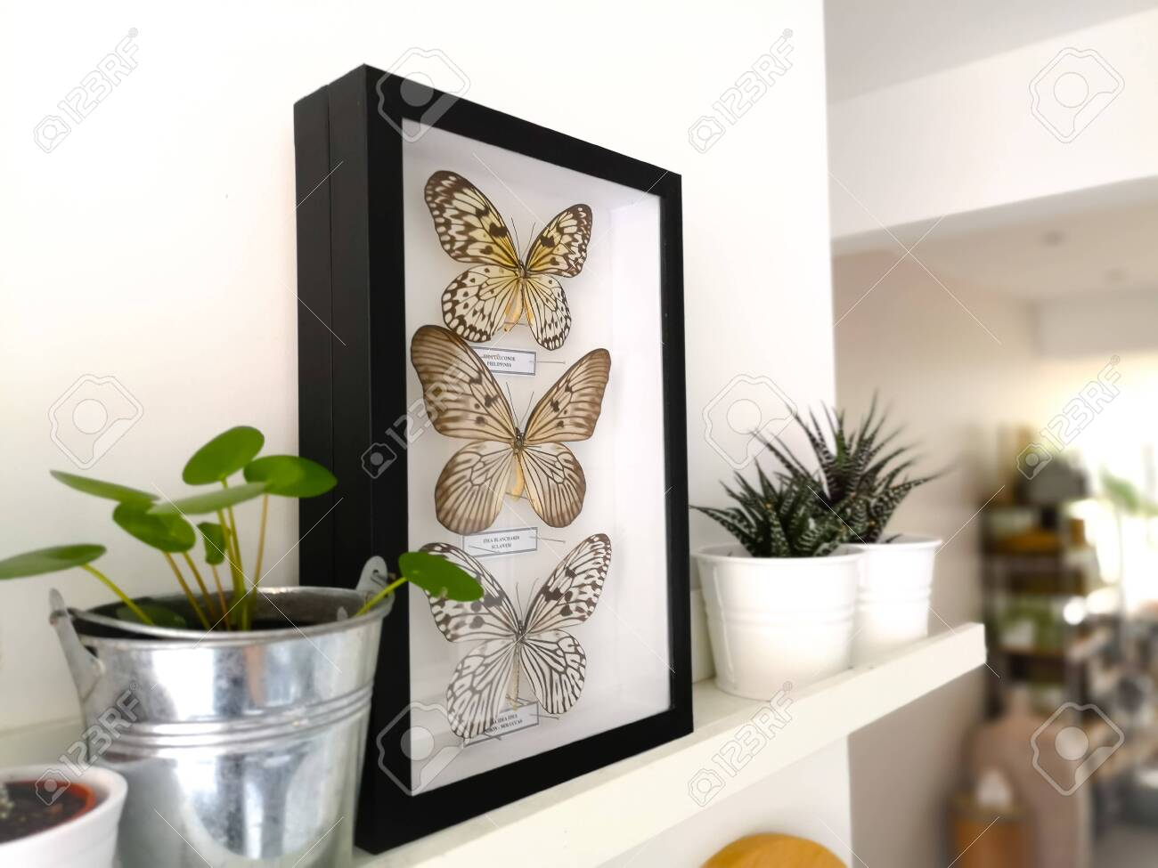 White floating shelf with framed taxidermy butterflies display and small houseplants in a black and white interior - 127147141
