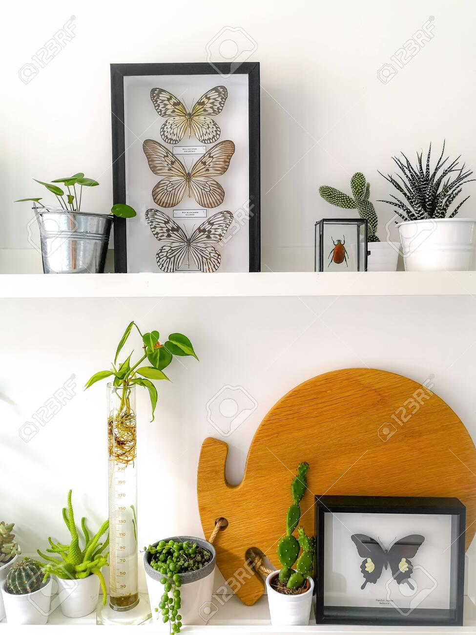 White hanging shelves with numerous plants and framed taxidermy insect art such as butterflies and a colorful beetle - 127147149