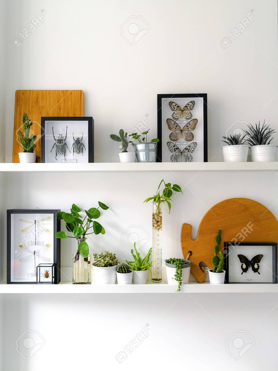 White hanging shelves with numerous plants and framed taxidermy insect art such as butterflies, beetles and dragonflies - 127147151