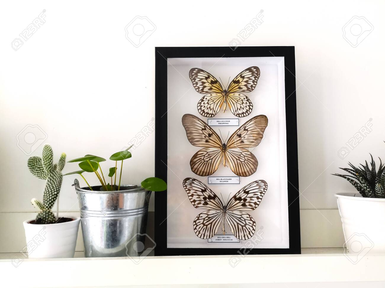 White floating shelf with framed taxidermy butterflies display and small houseplants in a black and white interior - 127147158