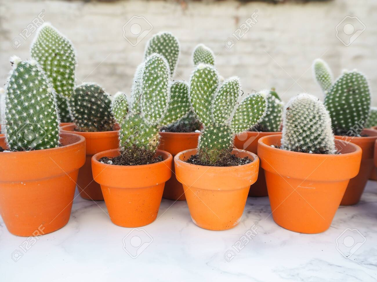 """Opuntia Microdays /""""Bunny Ears/"""" cactus green with yellow dots shipped in pot"""