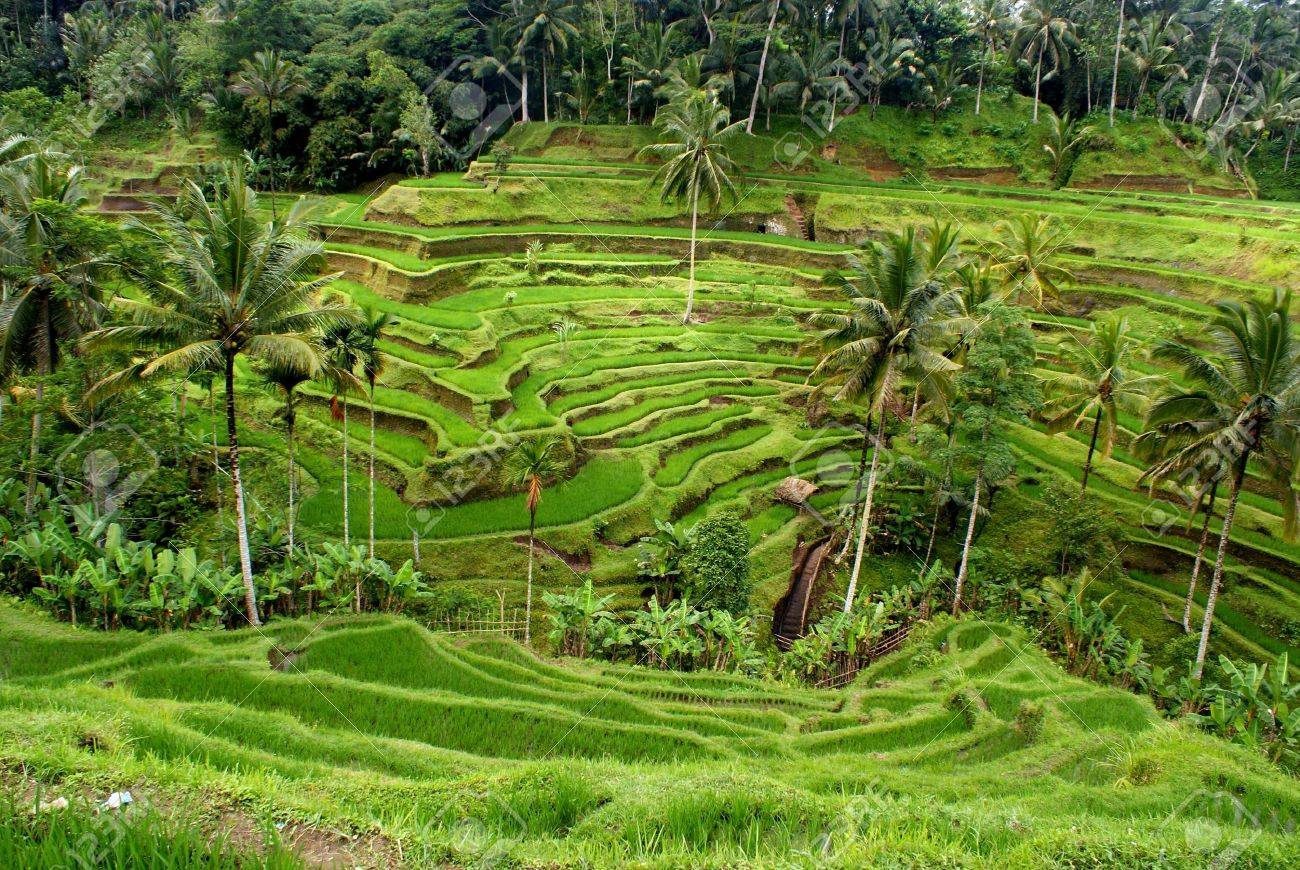 9115943-Rice-terrace-Bali-Indonesia-Stock-Photo.jpg