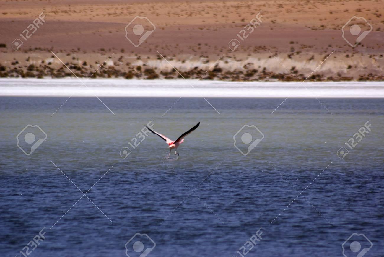 Laguna celeste, Flamingos, Bolivia Stock Photo - 11421320