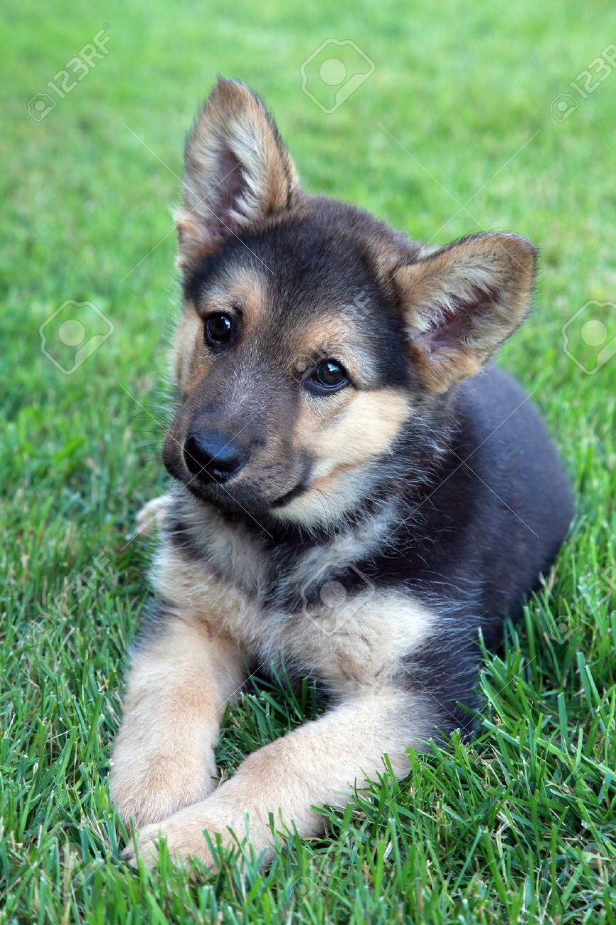 Adorable German Shepherd Puppy Stock Photo Picture And Royalty Free