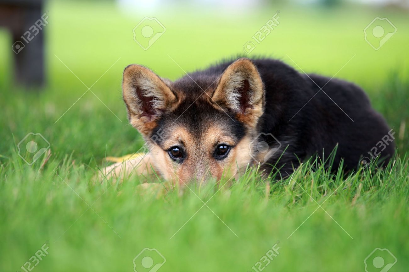 Cute German Shepherd Puppy Relaxing In The Grass Stock Photo