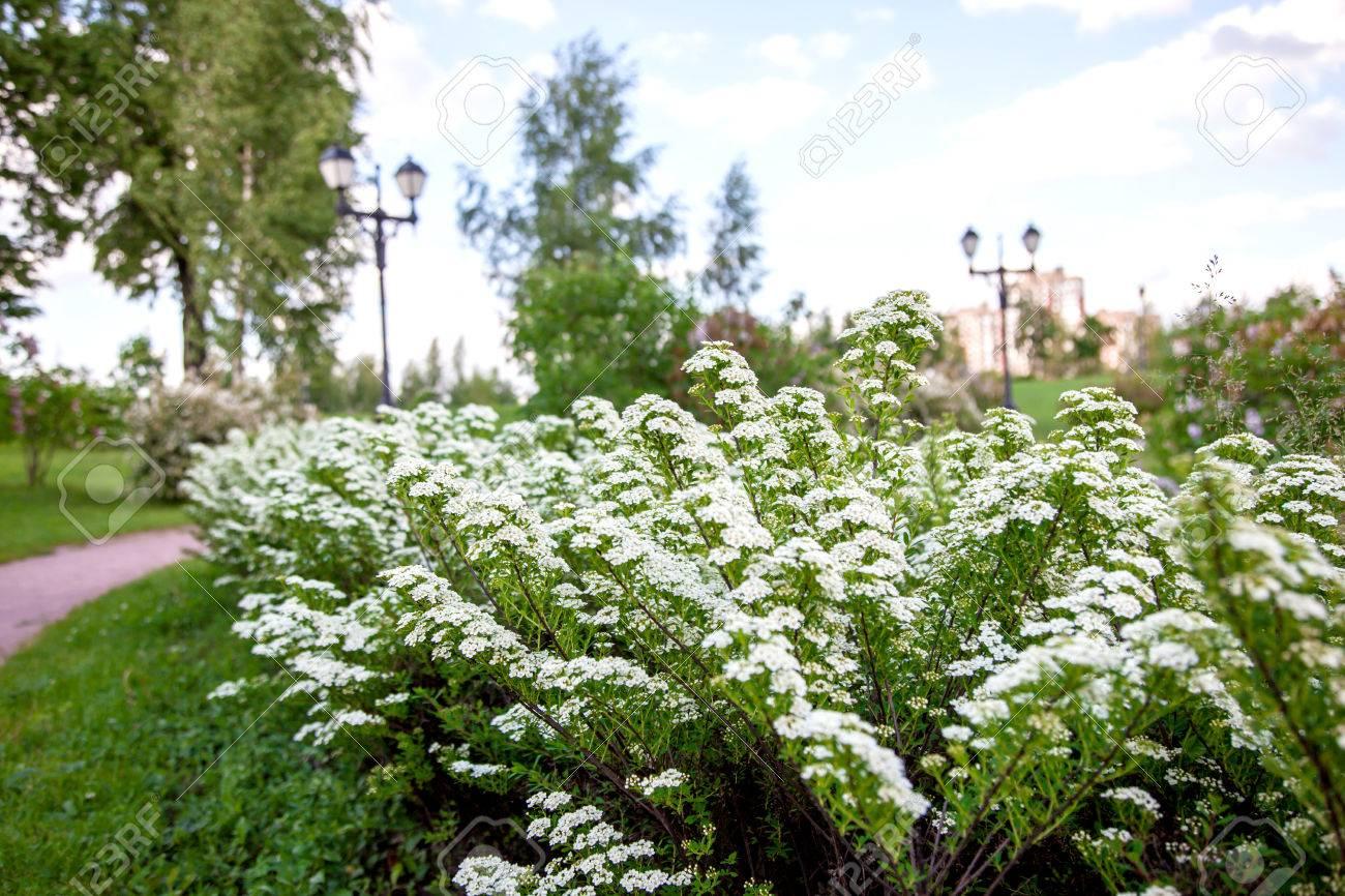 White flowers of lobularia maritima called alyssum maritimum stock stock photo white flowers of lobularia maritima called alyssum maritimum mightylinksfo