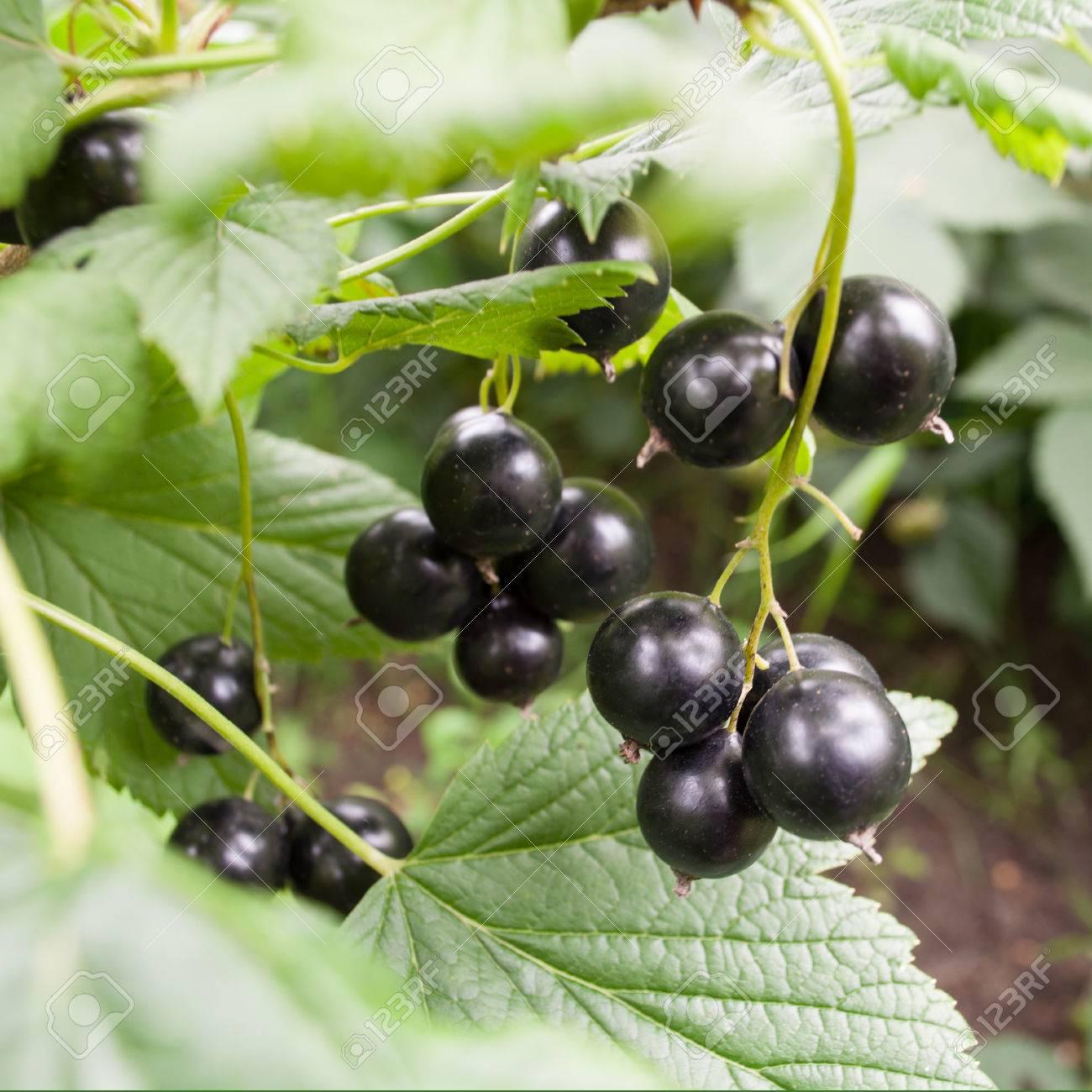 Bunch of Black currant in garden - 22551344