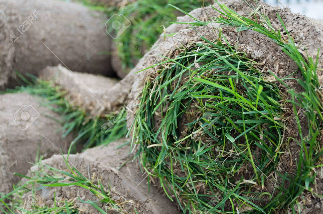 Grass Lawn - Turfs ready to be rolled sod cover Sod Roll - 22551279