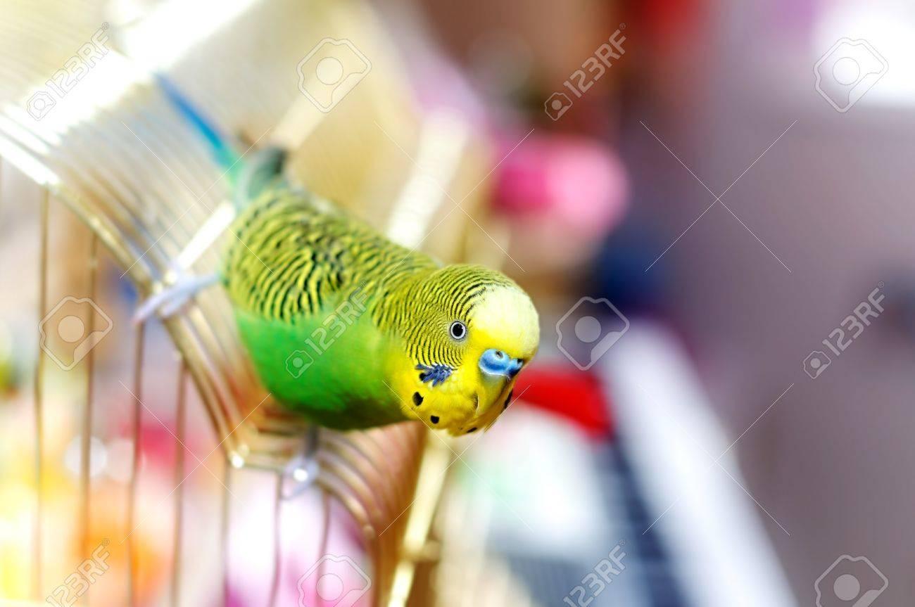 Budgerigar on the birdcage. Budgie - 40461098