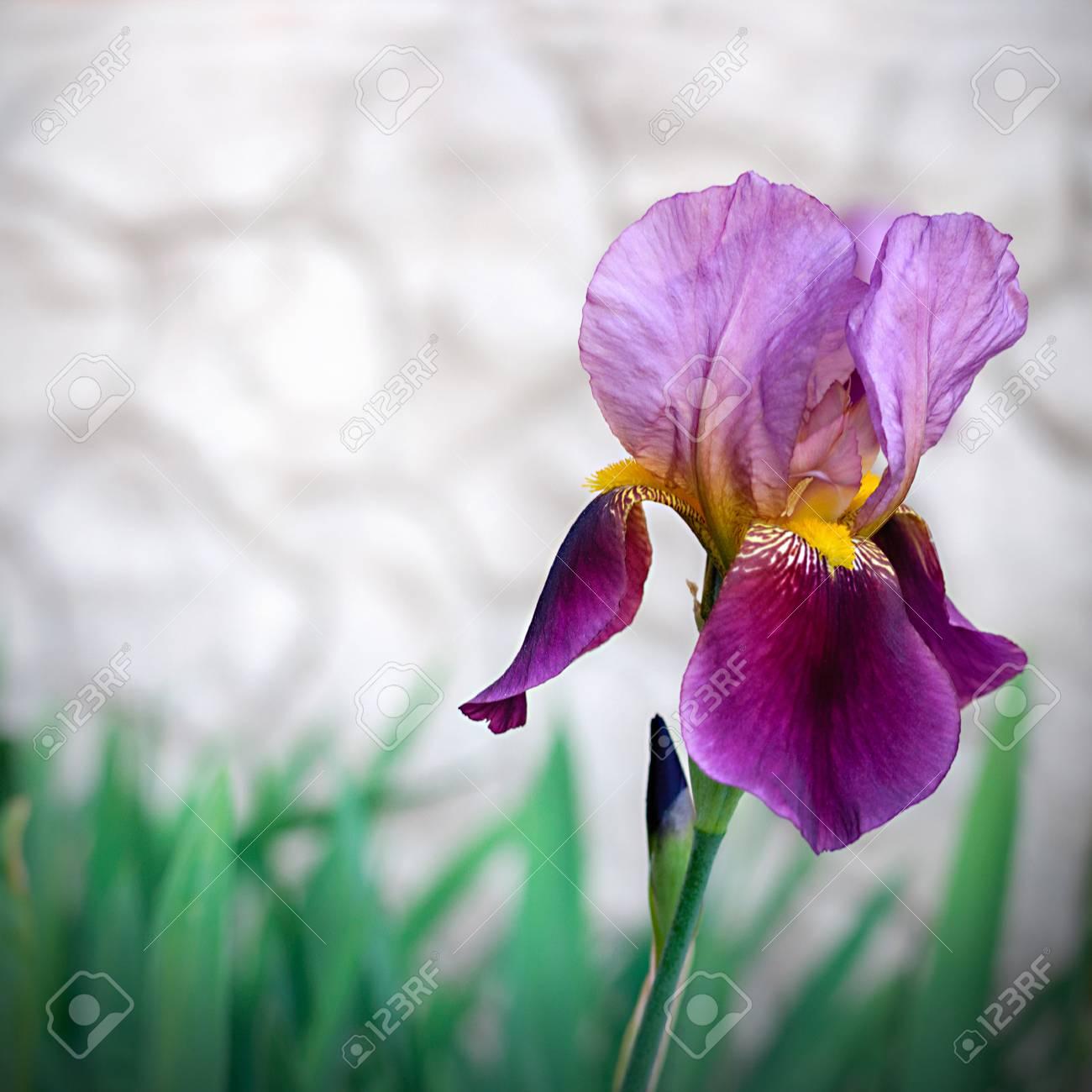Close up of iris flowers stock photo picture and royalty free image close up of iris flowers stock photo 41374735 izmirmasajfo