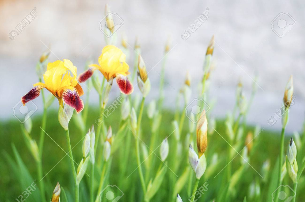 Close up of iris flowers stock photo picture and royalty free image close up of iris flowers stock photo 41374736 izmirmasajfo Image collections