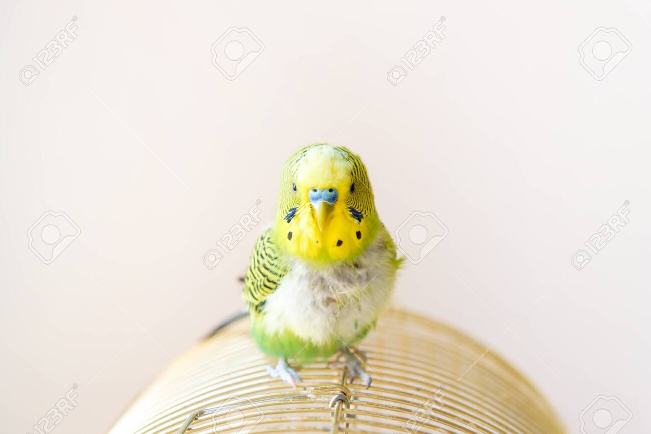 Domestic budgie parrot, poultry with a health problem after moulting