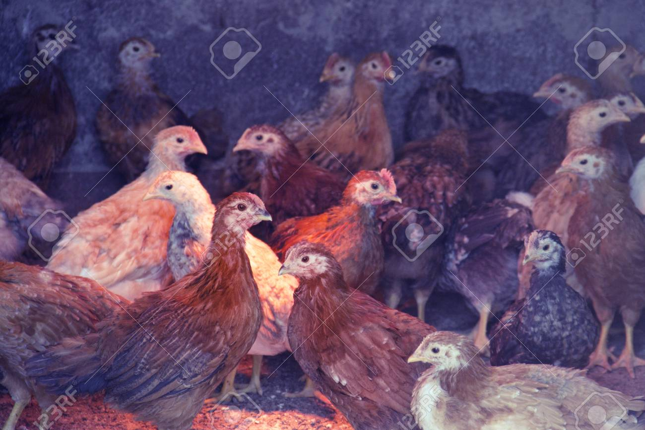 Two three-month-old chickens of red chickens inside a chicken