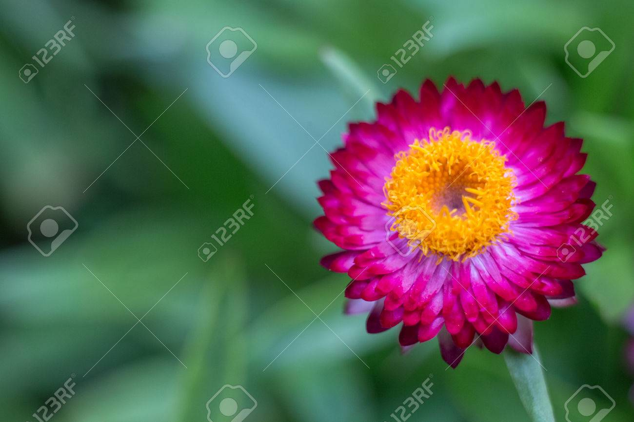 Purple Strawflower With Yellow Center And Green Leaves In Background