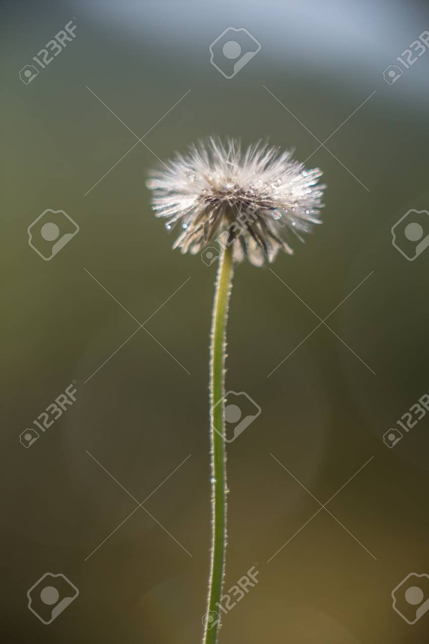 Small White Flower That Has Seeded Into A Puffball With Bokeh