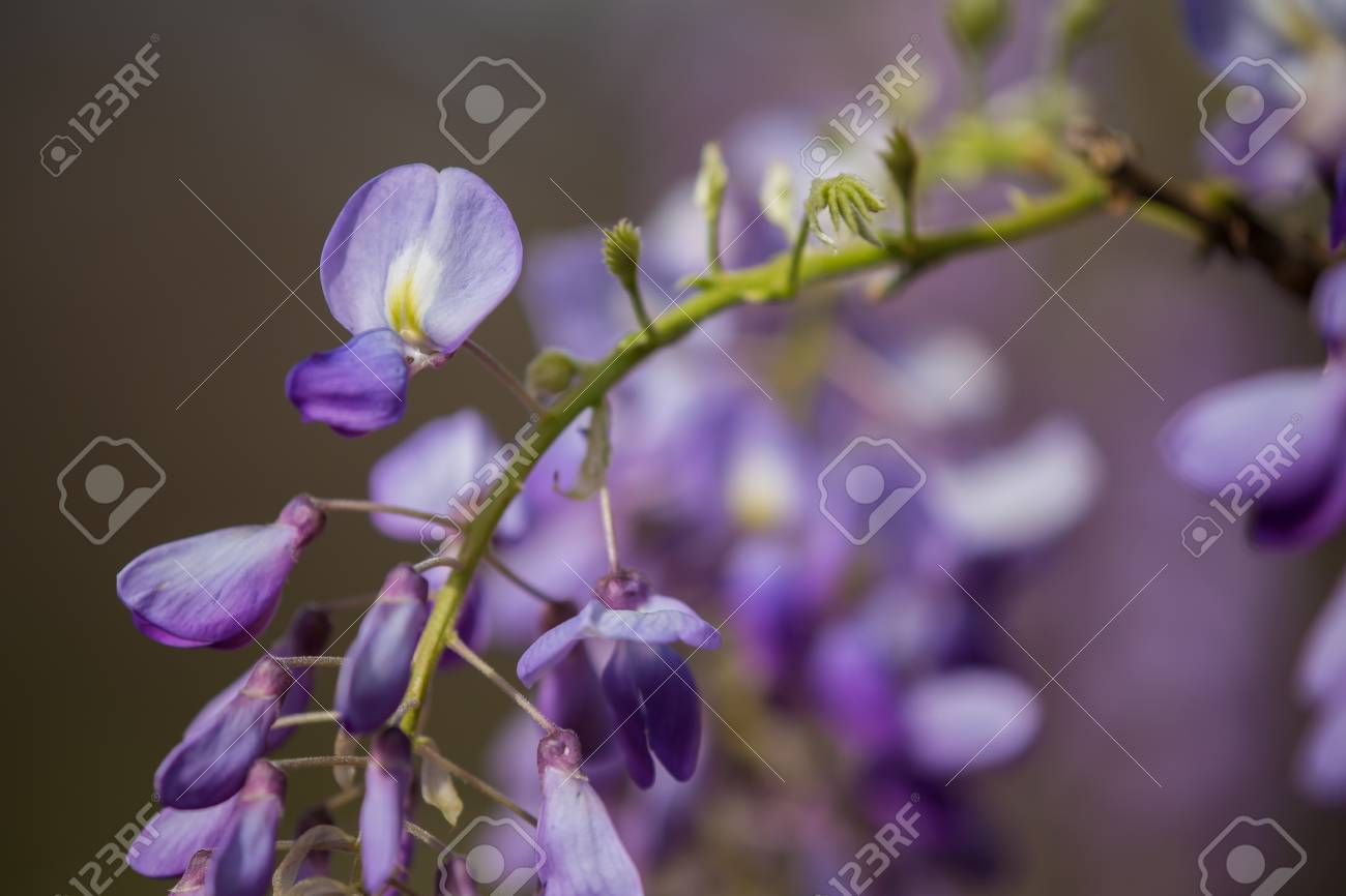 Close Up Of A Wisteria Flower Cluster With Several Buds And One