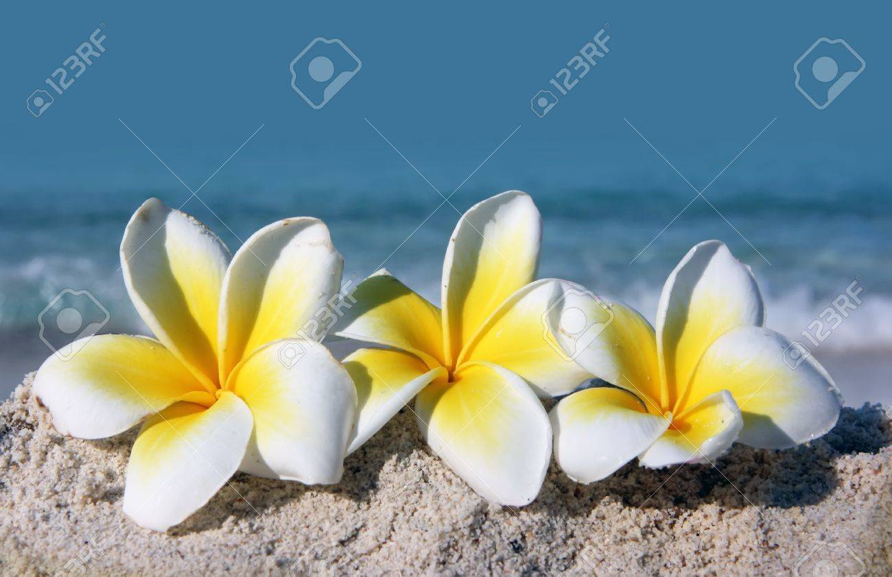 Temple tree flowers lying on the beach Stock Photo - 4483328