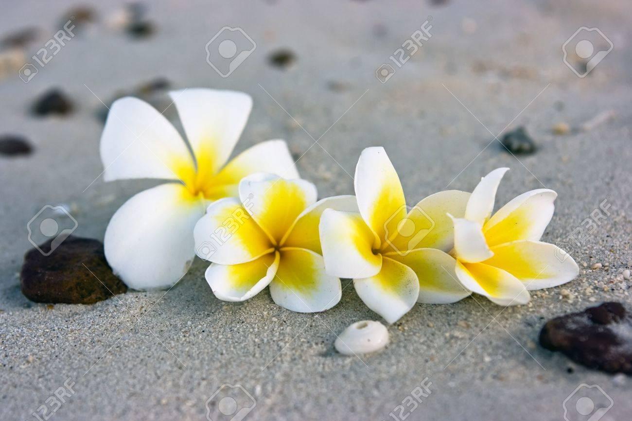 Temple tree flowers lying on the beach Stock Photo - 4758978
