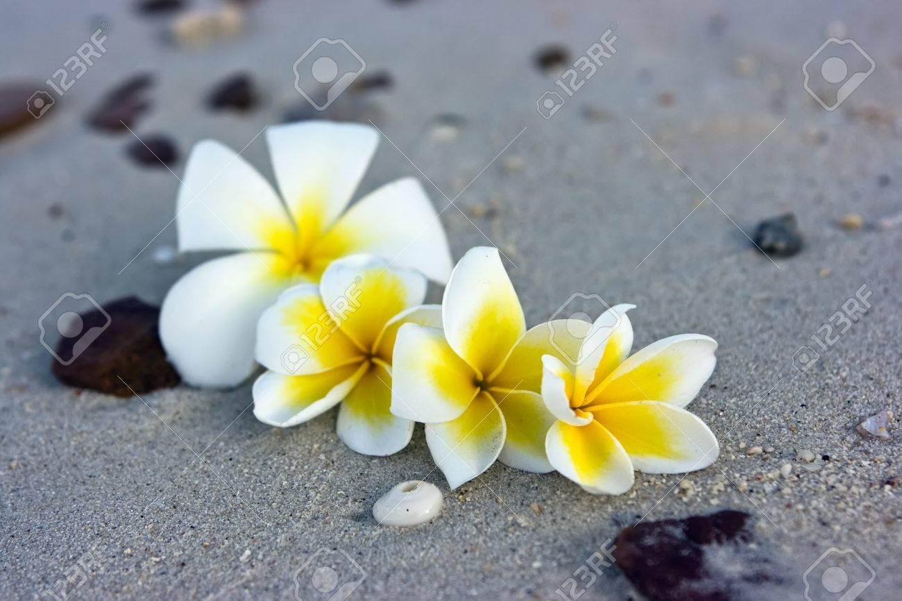 Temple tree flowers lying on the beach Stock Photo - 4758950