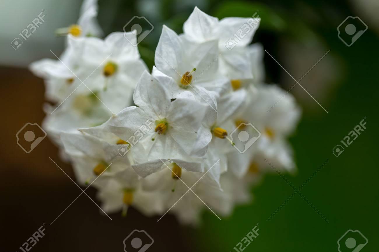 White And Yellow Bunch Of Jasmine Star Flowers In Close Up Macro
