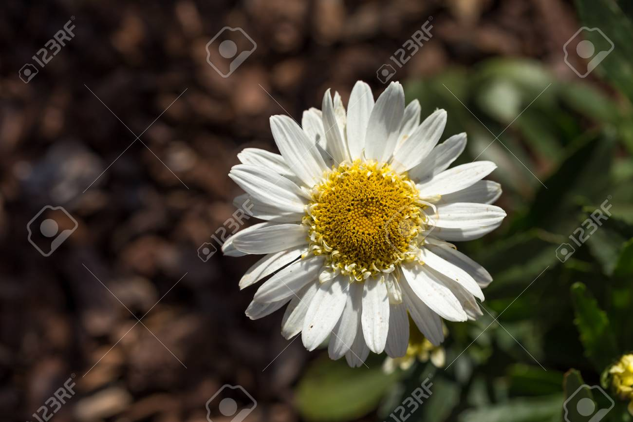 Closeup Of A Beautiful Yellow And White Marguerite Daisy Flower