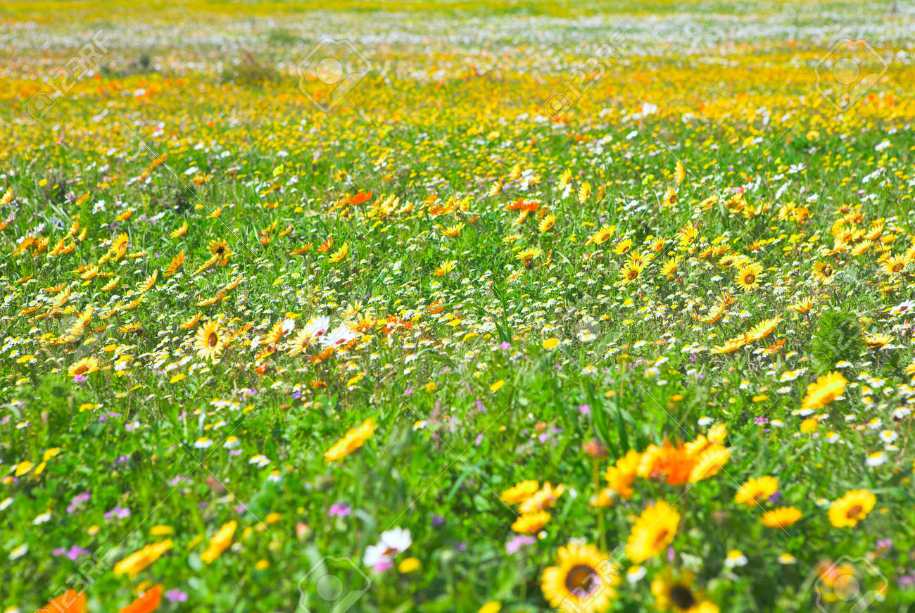 Bright Spring Wild Flowers Field In West Coast National Park Stock Photo Picture And Royalty Free Image Image 2180167