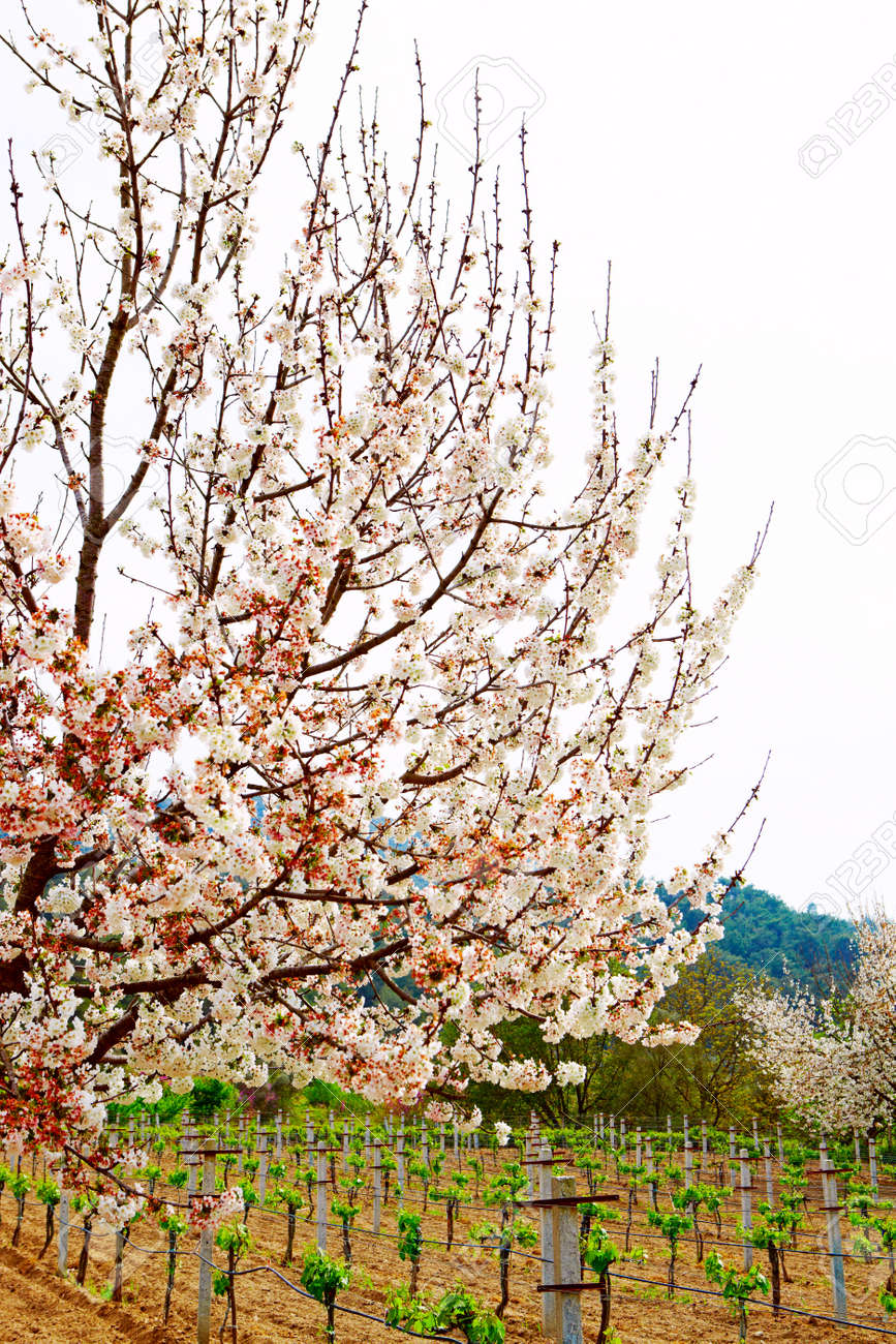cherry trees in spring blossom with grapes on a organic farm in Kirazli, Turkey Stock Photo - 10645852