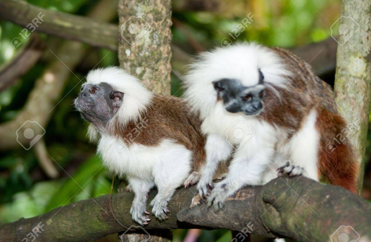 Cotton Top Tamarin in green tropical forest - 4657645
